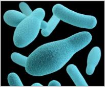 Лизозим (Мурамидаза) – натурален антибактериален агент в диетите за пилета бройлери