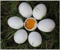 Установяване влиянието на ВемоХерб Т върху морфологичните качества на яйцата при кокошки носачки