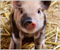 Ефектът от прилагането на билкови екстракти върху продуктивнитe показатели на мъжки и женски кастрирани прасета