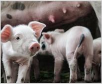 Ефектът от прилагането на билкови екстракти върху продуктивнитe показатели на подрастващи и гроуерни прасета