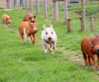 Лизозим – алтернатива на нутритивните антибиотици при прасета